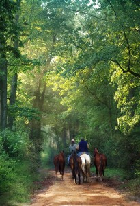 Polo ponies head into Hitchcock Woods for morning exercise.